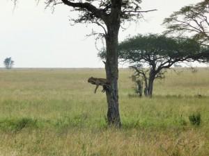Serengeti - Léopard