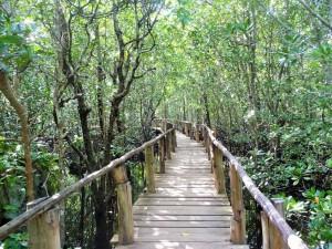 Zanzibar - Mangrove