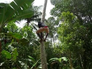 Zanzibar - Cueillette de noix de coco