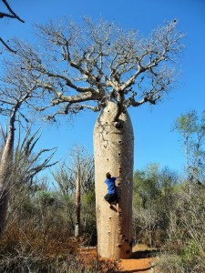 Ascension de baobab
