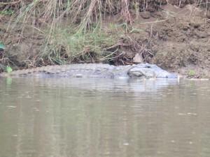 Chitwan - Crocodile