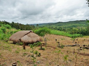 Village Phnong - Rizières