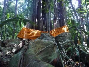 Koh Kood - Ficus sacré