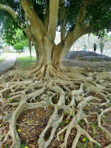 Khao Sok - Ficus