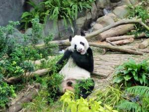 River Safari - Panda