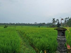 Alentours d'Ubud - Rizières