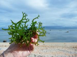 Nusa Lembongan - Culture d'algues